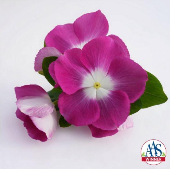 Vinca Mega Bloom Orchid Halo1