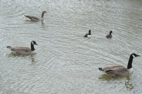 Canada geese, Greylag geese, Tufted ducks