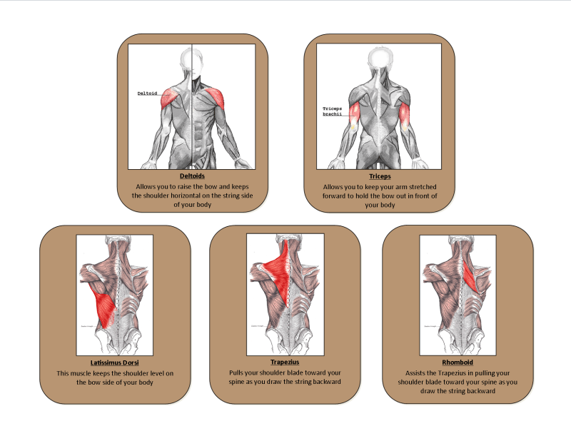 These five muscles are the most used muscles when you draw back the string on the bow.
