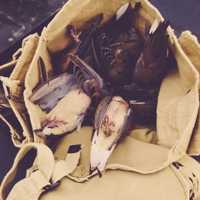 South Texas Dove Hunt