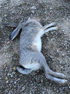 High Desert Jack Rabbit
