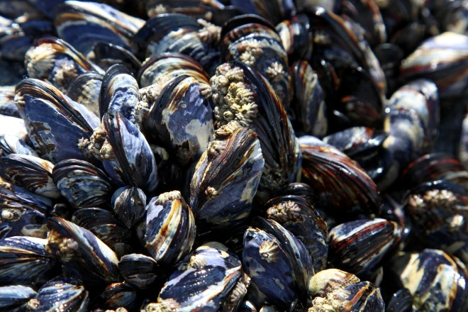 Salt Water Mussels