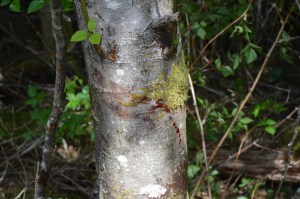 Vancouver Island Bear Bloodtrail