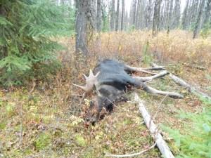 Bull Moose in British Columbia