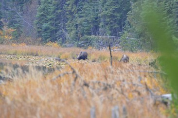 Moose in British Columbia