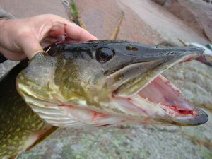 Pike caught in Iowa