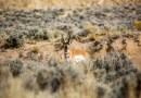 Mint Condition: Antelope Hunting in Wyoming