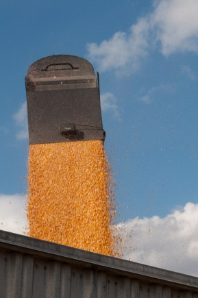 corn-from-auger