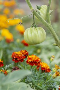 Companion plants tomatoes and marigolds