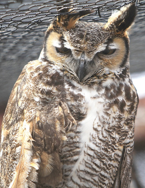 The Great Horned Owl is one of the animals at the Hutchinson Zoo. Wendy Nugent / The Edge