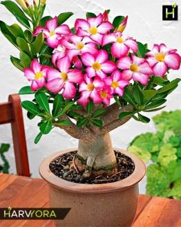 flowering plant, Desert Candy (Single petal tricolor Adenium Bonsai Plant)[code-HMDC], Harvyora