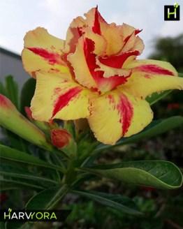 flowering plant, Desert Fire (Double petal yellow red Adenium Bonsai Plant)[code-HMDF], Harvyora
