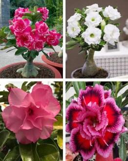 , Adenium Bonsai Four Color Combo (Package of Four, Rose Craft – Valiant of You – Dancing Lady – Fathumalatha)[code-HMFC10], Harvyora