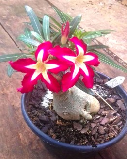 , Desert Star(Single petal Yellow Red Adenium Bonsai Plant)[code -HMDS], Harvyora