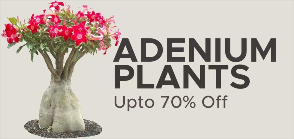 , Buy Best Grafted Adenium Bonsai Plants, Harvyora