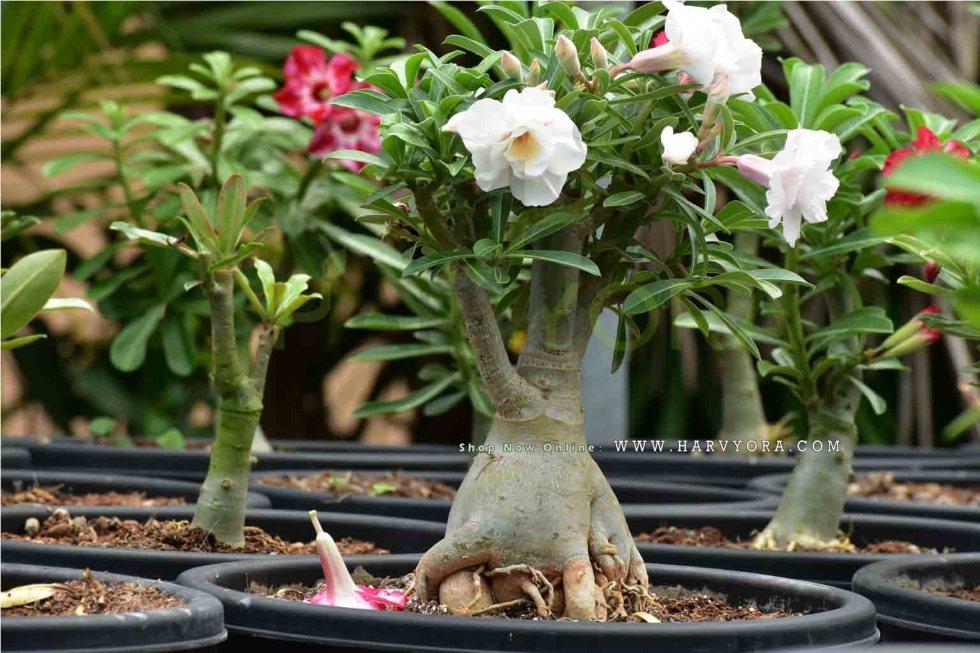 Adenium, Adenium or Desert Rose – Gem of your Garden!, Harvyora