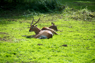 Bild: Litschi-Moorantilopen - wie alle Hirscharten im Herbst brunftig.