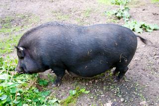 Bild: Die Figur muss gehalten werden - Minischwein bei einem kleinen Imbiss zwischendurch.