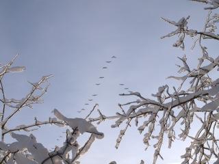 Bild: Graugänse auf ihrem Zug nach Norden.