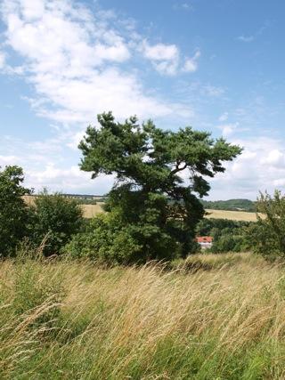 Bild: Vom Wind gepeitschte Kiefer an der Rabenskuppe.