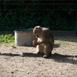 Bild: Affen im Zoo von Aschersleben.