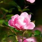 Noch immer blühende Rose.