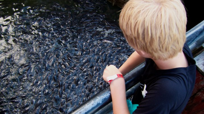 A young boy feeds hundreds of catfish along the Kemah Boardwalk; the fish all but leap from the water to eat.