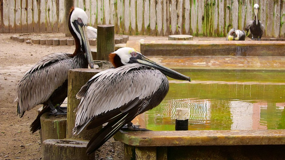 Brown pelicans in an aviary of the Suncoast Seabird Sanctuary recovering from injuries.