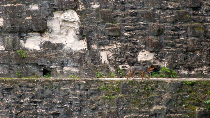 A fox hunts the ledge.
