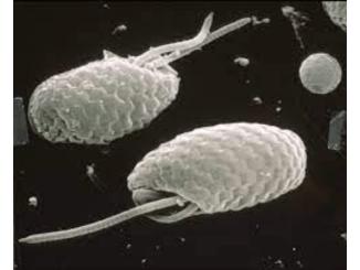 CSIRO ScienceImage 6743 SEM Cryptophyte