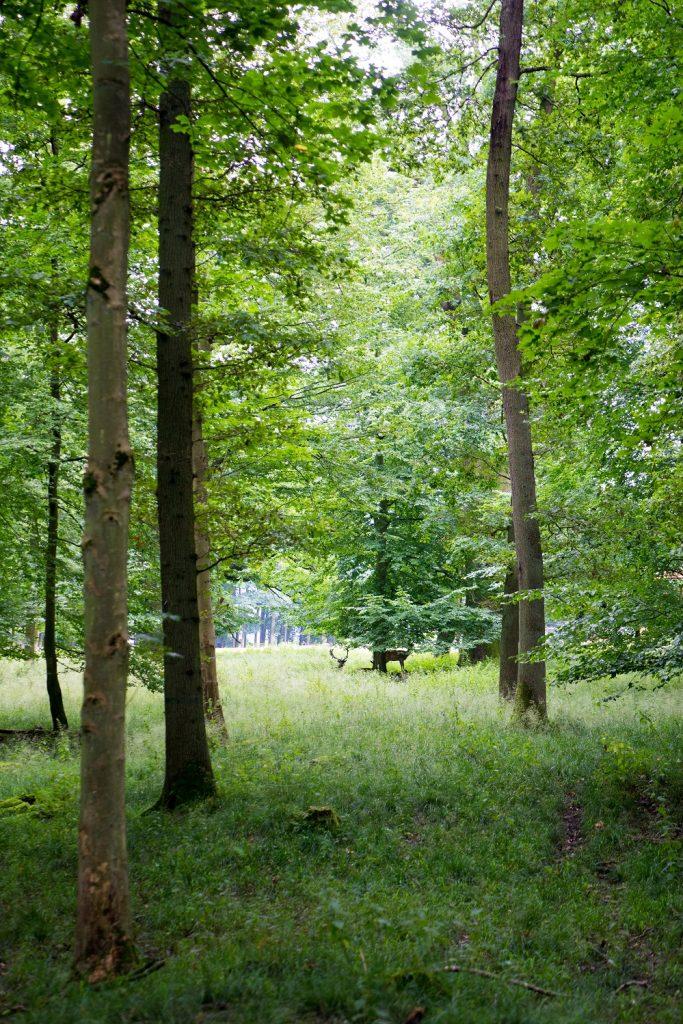 Ivenacker Eichen 11 Hirsche
