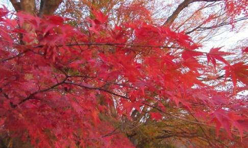 河口湖紅葉まつり 紅葉回廊