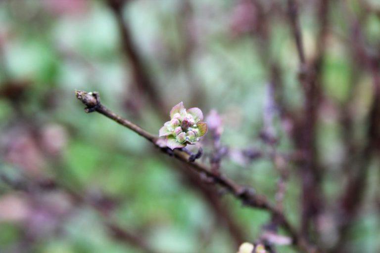 haskap rano u cvjetanju
