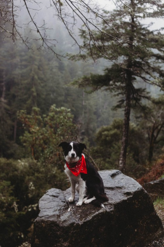 Sherlock the border collie sitting on a rock above a gorge heading into redwoods national forest