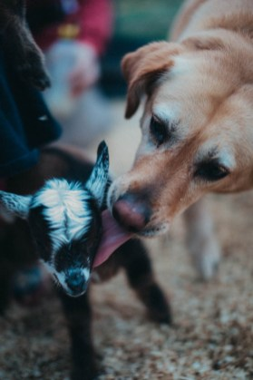 farm dog licking off dwarf baby goat unique family photos lifestyle photography Los Angeles