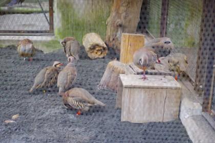 多摩動物園イワシャコ