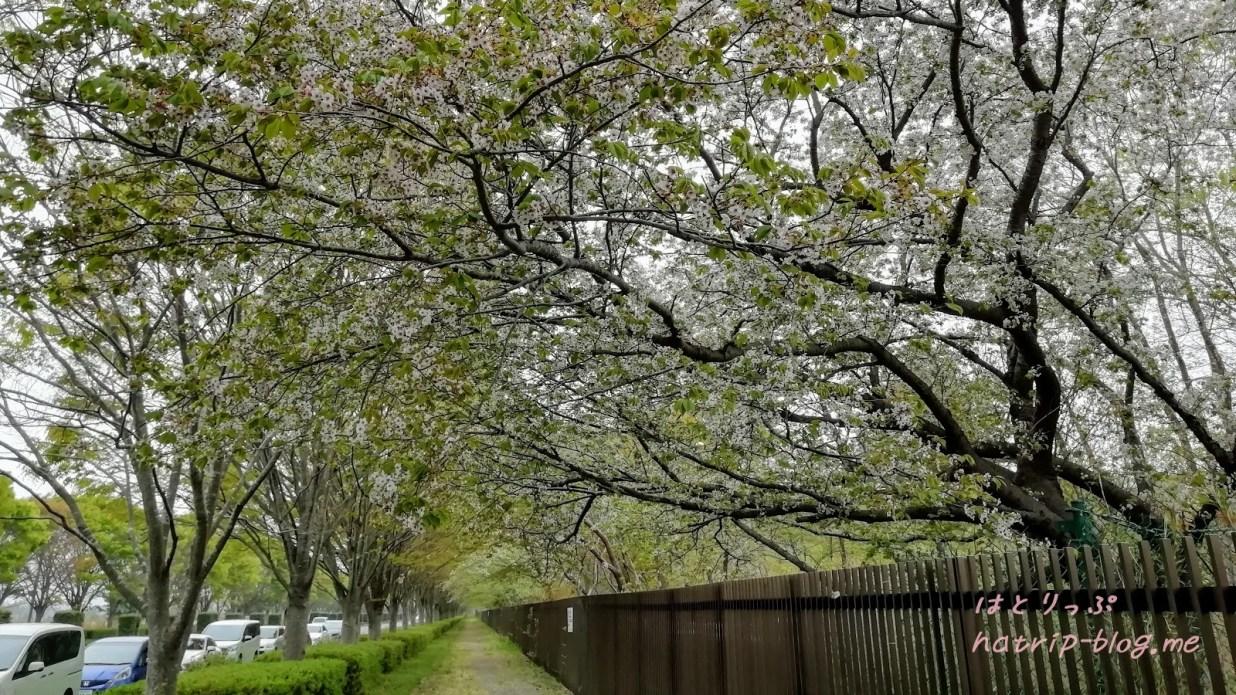 国営ひたち海浜公園 桜