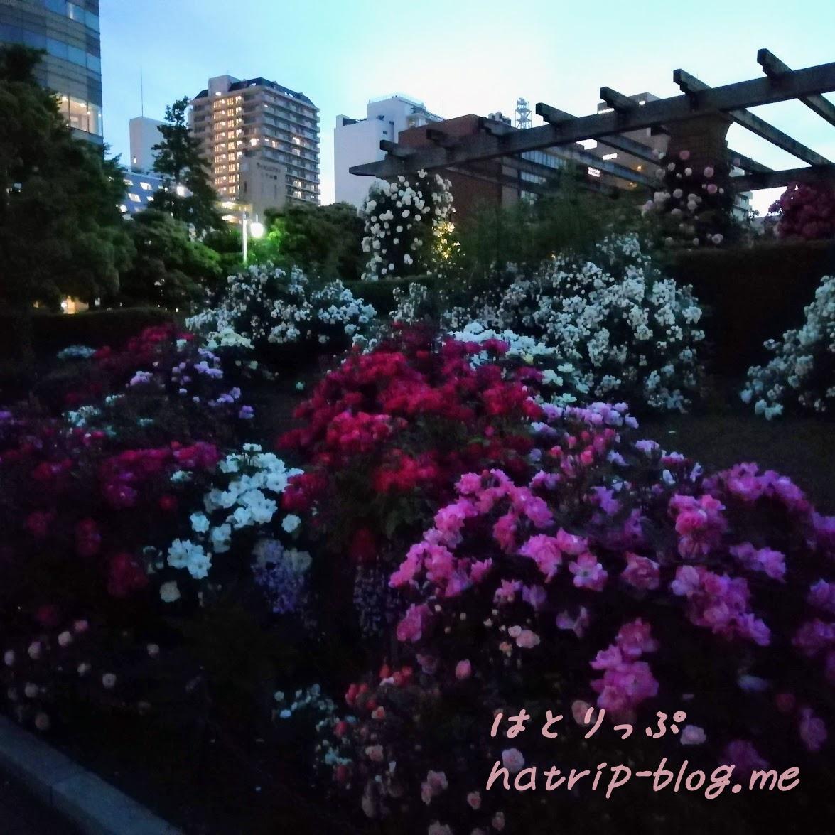 横浜 山下公園 未来のバラ園