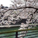 今年も桜は綺麗