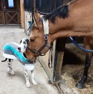 photo of Bruce, great dane and Whisper, quarter-horse
