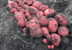 Red River Valley Potatoes Shipments Start; Uruguay Expects 65% Increase in Blueberry Exports