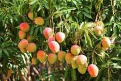 Mango Imports Soar; Koru Apple Shipments Continue to Increase