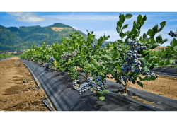 Oregon Blueberries to be Marketed by Superfresh Growers