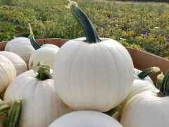 For Jack o' Lanterns, White is the New Orange