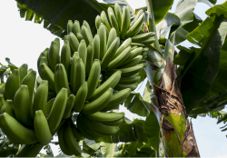 Banana Imports are Looking Strong Heading into Spring