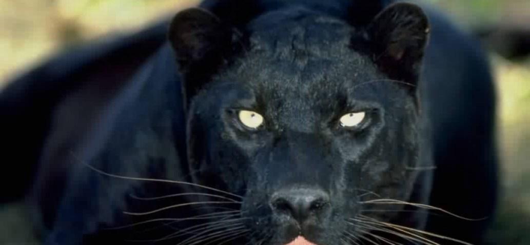 Gippsland Phantom Cat