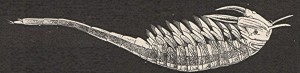 Brine shrimp Artemia salina, 1800s engraving