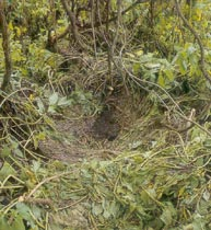 Gorila ground nest close to yowie