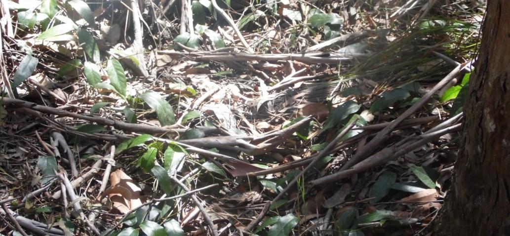 Australian Ape Nesting and Great Ape Comparison