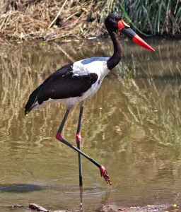 Saddle-billed stork - hyper7pro-Flickr-Wikipedia
